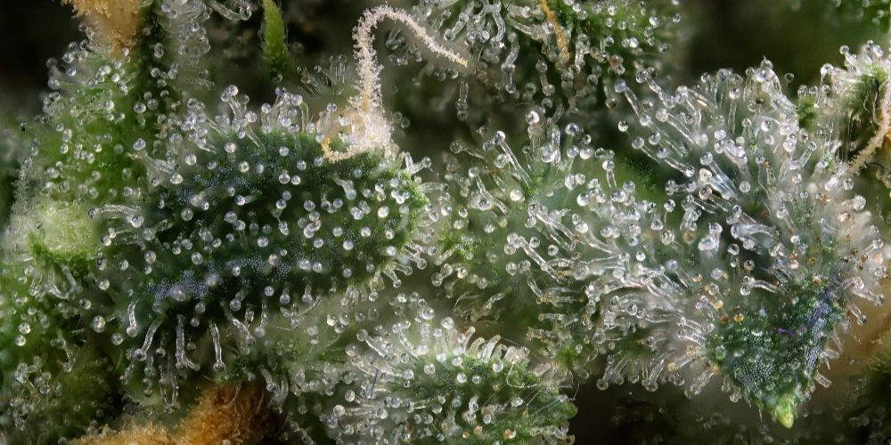 Trichomes are a part of the cannabis plant rich in cannabinoids